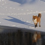 Kamchatka Anadyrskaya Red Fox