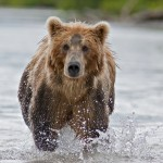 The brown bear fishes in Russia on Kamchatka